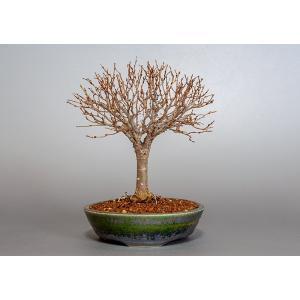 盆栽 ケヤキ盆栽 欅(けやき・ミニ盆栽 箒立ち欅)3840 e-bonsai
