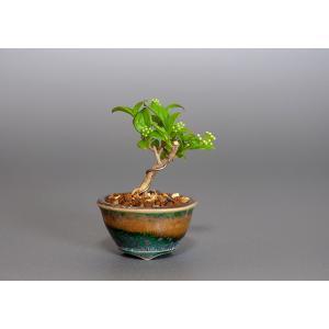 プチ盆栽 サワフタギ(さわふたぎ・沢蓋木)小さな盆栽 3844|e-bonsai