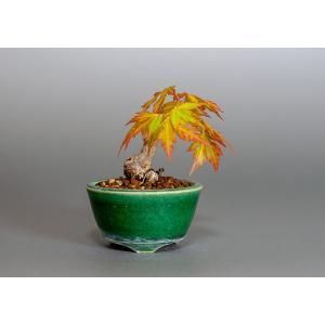 豆盆栽 イロハモミジ盆栽(いろは紅葉 豆盆栽)小さな盆栽 3854|e-bonsai