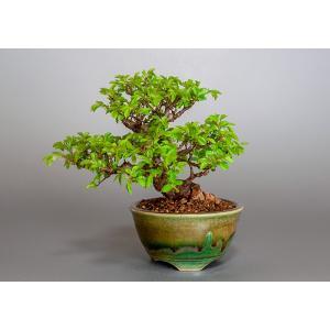 盆栽 ニレケヤキ盆栽(楡欅 小品盆栽)3862|e-bonsai