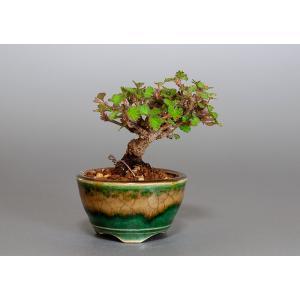 豆盆栽 ガマズミ 金華山莢迷盆栽(がまずみ・金華山ガマズミ豆盆栽)小さな盆栽 3866|e-bonsai