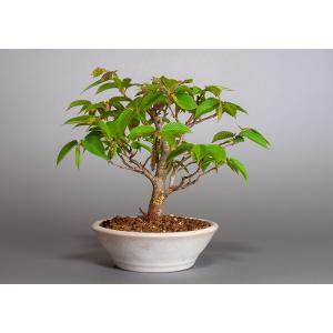 盆栽 カナシデ盆栽 金四手(かなしで・ミニ盆栽 金四手)3867|e-bonsai