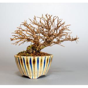 ミニ盆栽 ニレケヤキ盆栽 楡欅(にれけやき・ミニ盆栽 楡欅)3871|e-bonsai