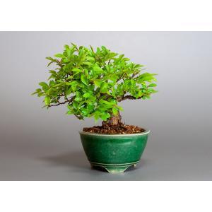 盆栽 ニレケヤキ盆栽(楡欅 小品盆栽)3872|e-bonsai