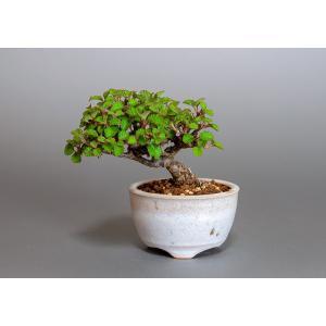 豆盆栽 ガマズミ 金華山莢迷盆栽(がまずみ・金華山ガマズミ豆盆栽)小さな盆栽 3876|e-bonsai