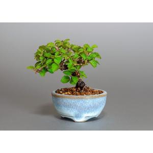 豆盆栽 ガマズミ 金華山莢迷盆栽(がまずみ・金華山ガマズミ豆盆栽)小さな盆栽 3880|e-bonsai
