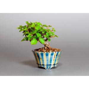 豆盆栽 ガマズミ 金華山莢迷盆栽(がまずみ・金華山ガマズミ豆盆栽)小さな盆栽 3883|e-bonsai