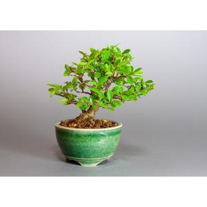 ミニ盆栽 ニレケヤキ盆栽 楡欅(にれけやき・ミニ盆栽 楡欅)3885|e-bonsai