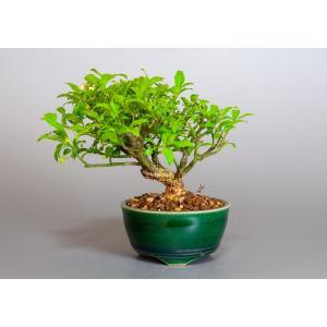 ミニ盆栽 コマユミ盆栽 小真弓(こまゆみ・ミニ盆栽 小真弓)小さな盆栽 3887 e-bonsai