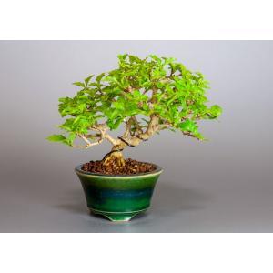 盆栽 ニオイカエデ盆栽 小品盆栽 匂い楓(においかえで・盆栽 匂い楓)3891|e-bonsai