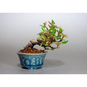 豆盆栽 カングミ 寒茱萸 盆栽(かんぐみ・小葉性 寒茱萸 豆盆栽)小さな盆栽 3898|e-bonsai