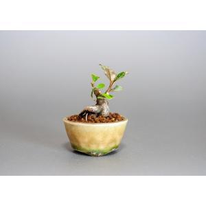 プチ盆栽 カングミ 寒茱萸 盆栽(かんぐみ・小葉性 寒茱萸 プチ盆栽)小さな盆栽 3902|e-bonsai