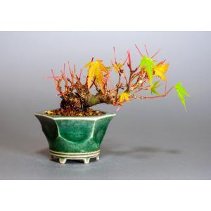プチ盆栽 イロハモミジ盆栽(いろは紅葉 プチ盆栽)小さな盆栽 3906|e-bonsai