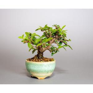 ミニ盆栽 ニレケヤキ盆栽 楡欅(にれけやき・ミニ盆栽 楡欅)小さな盆栽 3908|e-bonsai