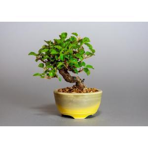 ミニ盆栽 ガマズミ 金華山莢迷盆栽(がまずみ・金華山ガマズミミニ盆栽)小さな盆栽 3911 e-bonsai