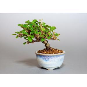 豆盆栽 ガマズミ 金華山莢迷盆栽(がまずみ・金華山ガマズミ豆盆栽)小さな盆栽 3913|e-bonsai