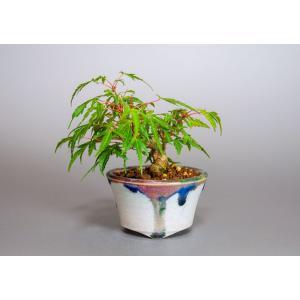 豆盆栽 織姫もみじ盆栽(おりひめもみじ・盆栽 織姫もみじ)小さな盆栽 3914|e-bonsai