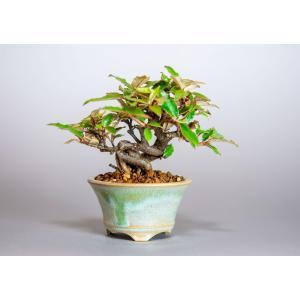 ミニ盆栽 カングミ盆栽 小葉性寒茱萸(かんぐみ・寒茱萸盆栽)小さな盆栽 3916|e-bonsai