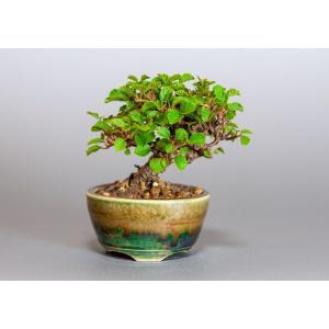 豆盆栽 ガマズミ 金華山莢迷盆栽(がまずみ・金華山ガマズミ豆盆栽)小さな盆栽 3918|e-bonsai