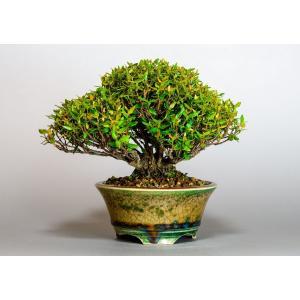 盆栽 チリメンカズラ盆栽 縮緬葛(ちりめんかずら・盆栽 縮緬葛)3919 e-bonsai