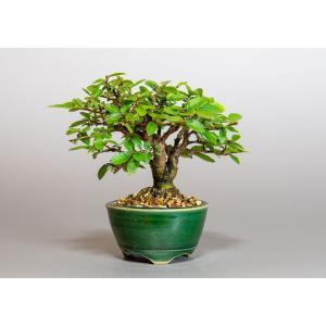 ミニ盆栽 ニレケヤキ盆栽 楡欅(にれけやき・ミニ盆栽 楡欅)小さな盆栽 3921|e-bonsai
