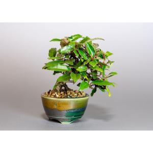 ミニ盆栽 カングミ盆栽 小葉性寒茱萸(かんぐみ・寒茱萸盆栽)小さな盆栽 3922|e-bonsai