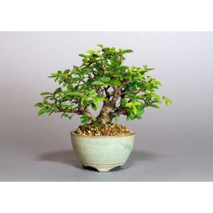 ミニ盆栽 ニレケヤキ盆栽 楡欅(にれけやき・ミニ盆栽 楡欅)小さな盆栽 3923|e-bonsai