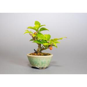 豆盆栽 ウメモドキ盆栽(うめもどき・梅擬 豆盆栽)小さな盆栽 3924|e-bonsai
