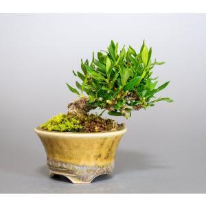 豆盆栽 クチナシ 喜代誉 梔子 盆栽(くちなし・喜代誉 豆盆栽)小さな盆栽 3928|e-bonsai
