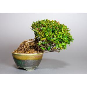 ミニ盆栽 チリメンカズラ盆栽 縮緬葛(ちりめんかずら・盆栽 縮緬葛)小さな盆栽 3931 e-bonsai