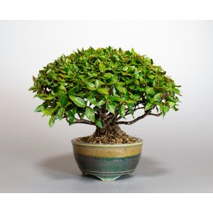 ミニ盆栽 チリメンカズラ盆栽 縮緬葛(ちりめんかずら・盆栽 縮緬葛)小さな盆栽 3932 e-bonsai