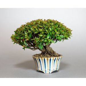 ミニ盆栽 チリメンカズラ盆栽 縮緬葛(ちりめんかずら・盆栽 縮緬葛)小さな盆栽 4000 e-bonsai