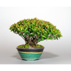 盆栽 チリメンカズラ盆栽 縮緬葛(ちりめんかずら・ミニ盆栽 縮緬葛)小さな盆栽 4001 e-bonsai