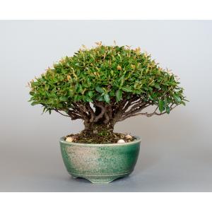 盆栽 チリメンカズラ盆栽 縮緬葛(ちりめんかずら・ミニ盆栽 縮緬葛)4003 e-bonsai