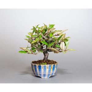 ミニ盆栽 カングミ盆栽 小葉性寒茱萸(かんぐみ・寒茱萸盆栽)小さな盆栽 4011 e-bonsai