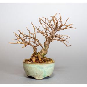 ミニ盆栽 ニレケヤキ盆栽 楡欅(にれけやき・ミニ盆栽 楡欅) 小さな盆栽 4013|e-bonsai