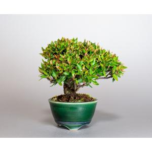 ミニ盆栽 チリメンカズラ盆栽 縮緬葛(ちりめんかずら・盆栽 縮緬葛)小さな盆栽 4019 e-bonsai