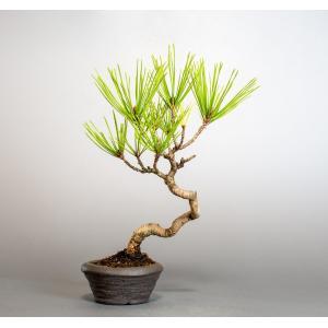 盆栽 アカマツ盆栽 赤松(あかまつ・盆栽 赤松)盆栽松 4020|e-bonsai