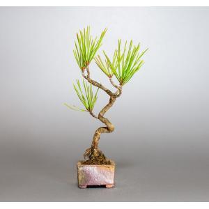 盆栽 アカマツ盆栽 赤松(あかまつ・盆栽 赤松)盆栽松 4028|e-bonsai