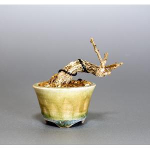 プチ盆栽 照り葉ツルウメモドキ盆栽 蔓梅擬(つるうめもどき・プチ盆栽 照り葉蔓梅擬)小さな盆栽 4039|e-bonsai