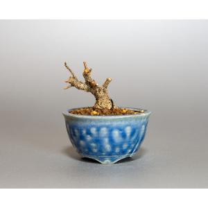 プチ盆栽 トウカエデ盆栽 唐楓(とうかえで・プチ盆栽 唐楓)小さな盆栽 4055|e-bonsai