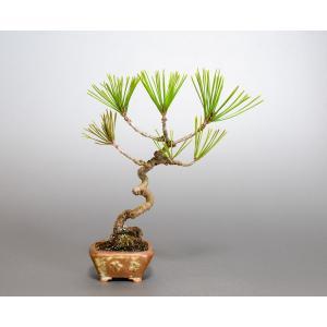 盆栽 アカマツ盆栽 赤松(あかまつ・盆栽 赤松)盆栽松 4063|e-bonsai