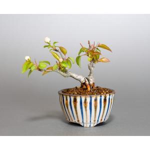 豆盆栽 マメナシ盆栽 豆梨(まめなし・小さな盆栽 豆梨)小盆栽 4064|e-bonsai