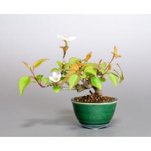 ミニ盆栽 マメナシ盆栽 豆梨(まめなし・小さな盆栽 豆梨)小盆栽 4068 e-bonsai
