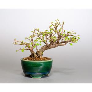 ミニ盆栽 ニレケヤキ盆栽 楡欅(にれけやき・ミニ盆栽 楡欅) 小さな盆栽 4069|e-bonsai
