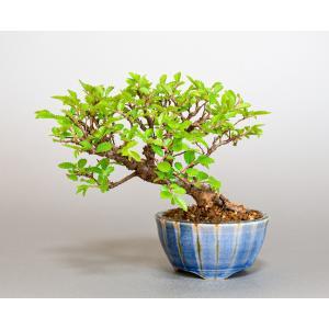 ミニ盆栽 ニレケヤキ盆栽 楡欅(にれけやき・ミニ盆栽 楡欅) 小さな盆栽 4088|e-bonsai