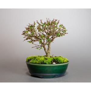盆栽 ケヤキ盆栽 欅(けやき・ミニ盆栽 箒立ち欅)小品盆栽 4095 e-bonsai
