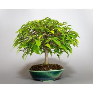 盆栽 ケヤキ盆栽 欅(けやき・ミニ盆栽 箒立ち欅)小品盆栽 4099|e-bonsai