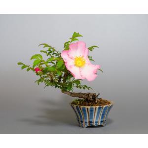 盆栽 ハコネサンショウバラ盆栽 箱根山椒薔薇 (さんしょうばら・盆栽 薔薇)ミニ盆栽 4100|e-bonsai