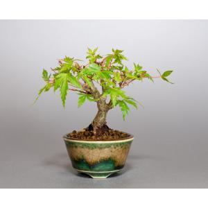 ミニ盆栽 イロハモミジ盆栽 紅葉(いろは紅葉・ミニ盆栽 もみじ)4107 e-bonsai